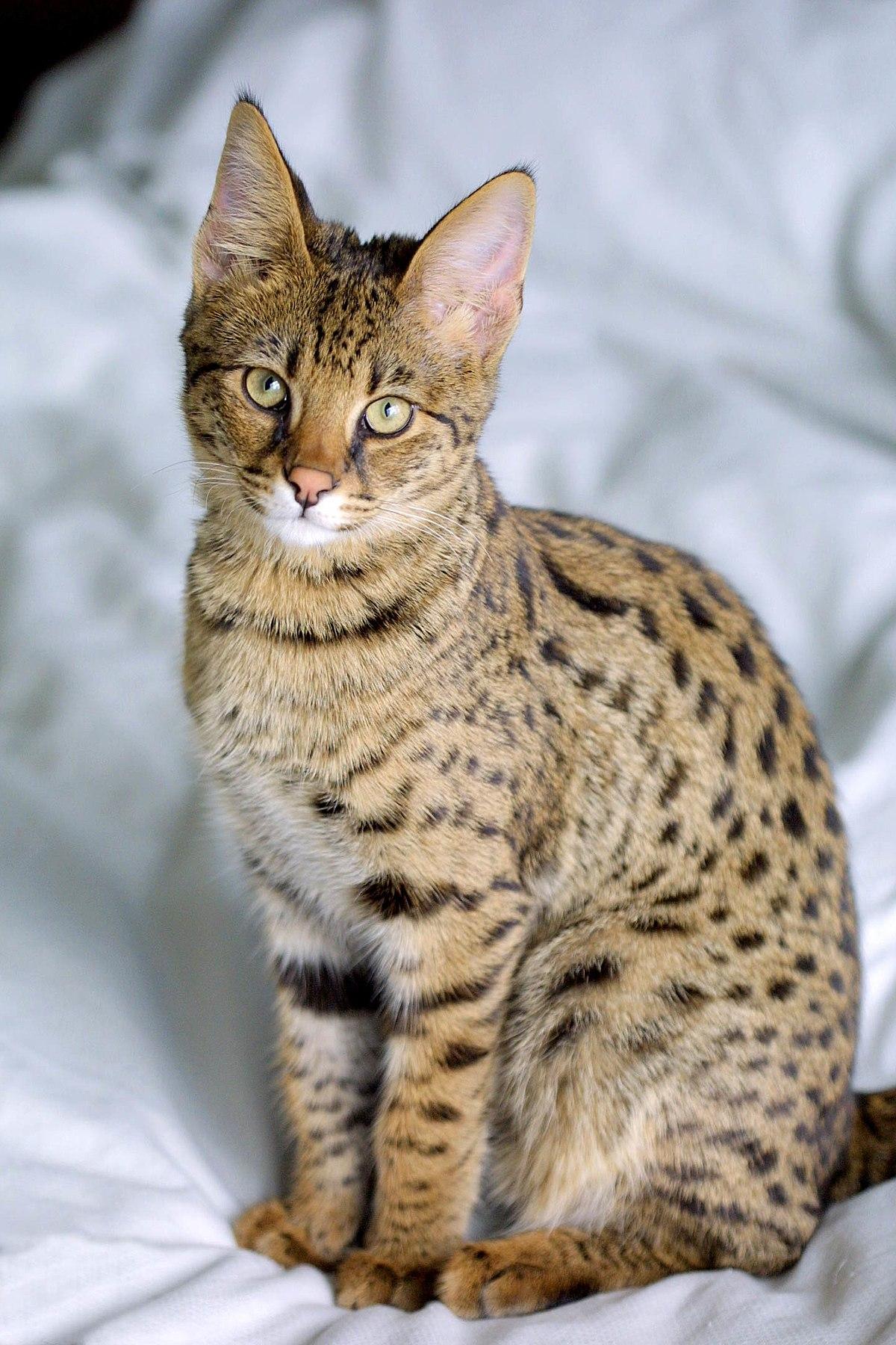 1200px-Savannah_Cat_portrait