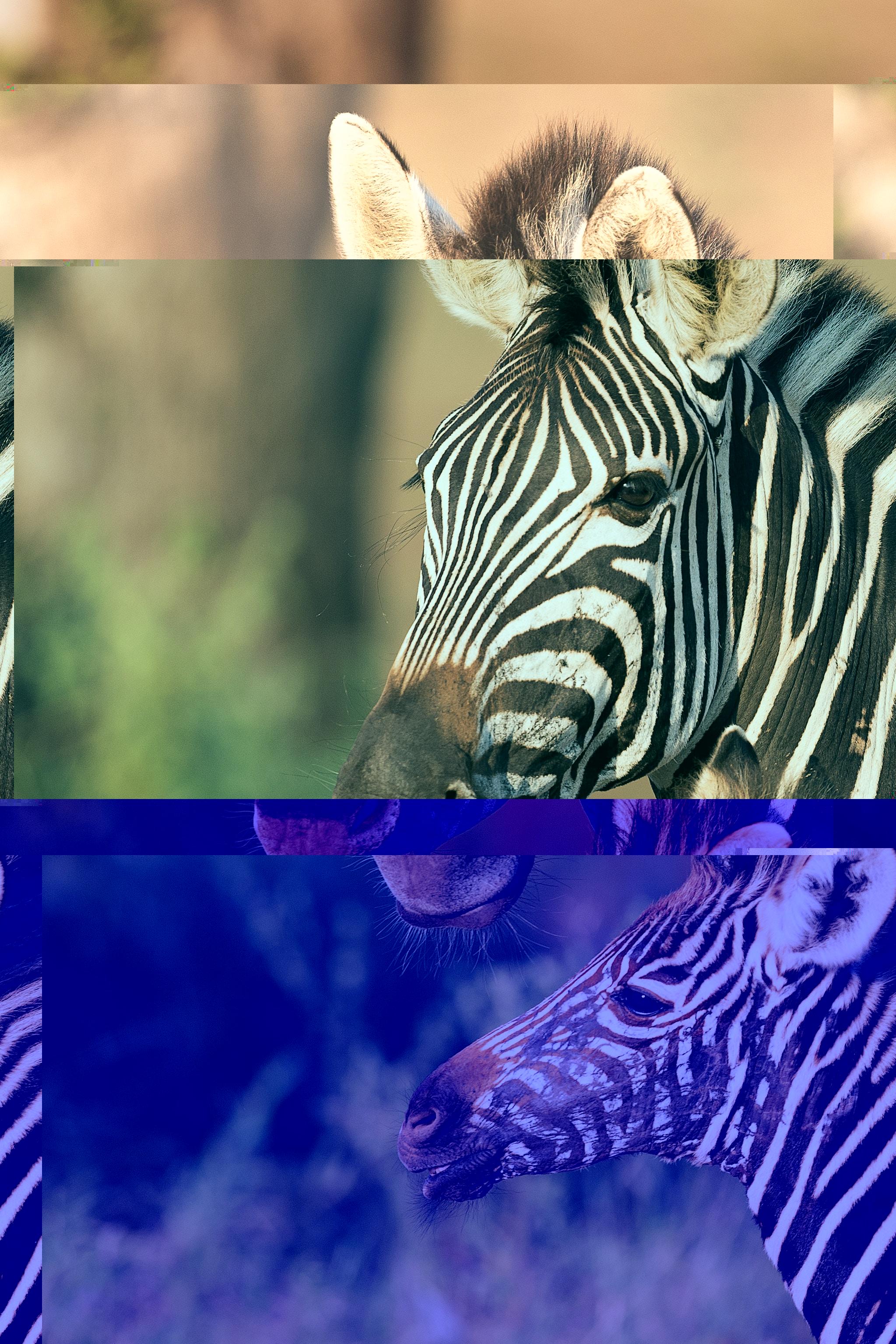 zebrashex